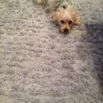 San-Leandro-Dog-carpet-clean